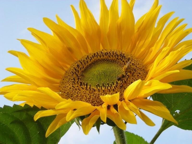 Bunga matahari mengobati Tekanan darah tinggi
