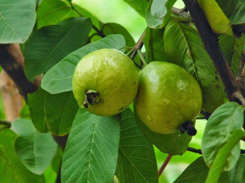 tanaman obat keluarga Jambu biji