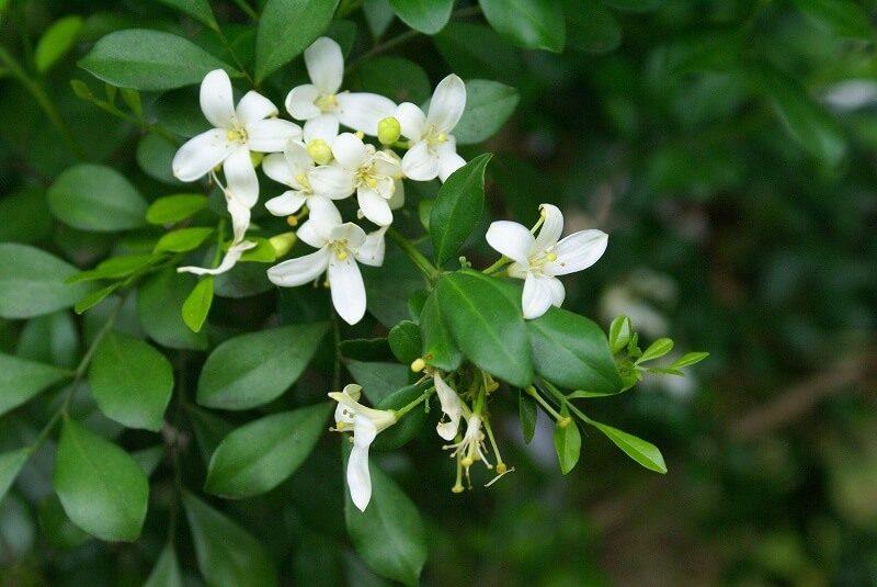 khasiat tanaman kemuning