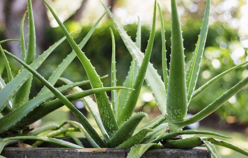 khasiat tanaman lidah buaya