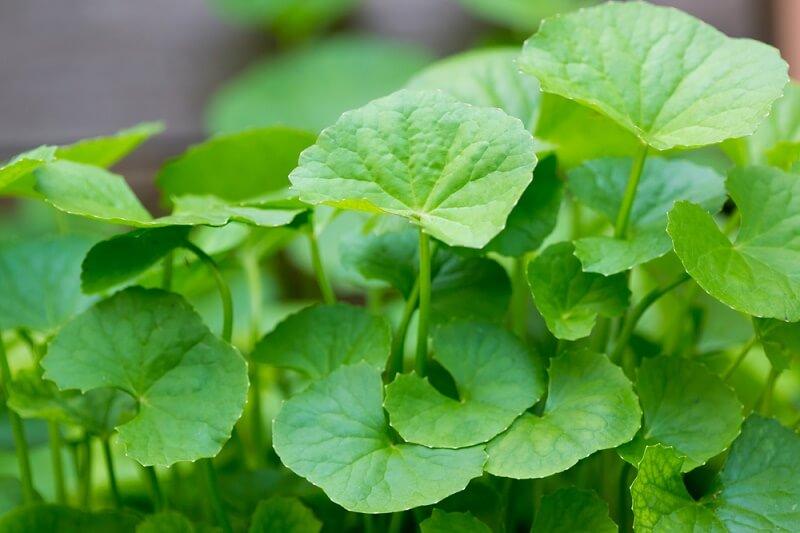 khasiat pegagan sebagai tanaman obat