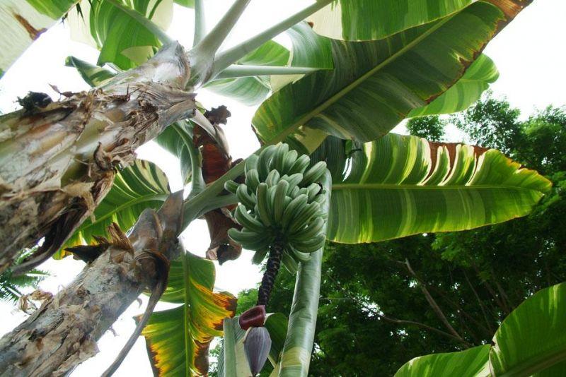 khasiat pisang sebagai tanaman obat keluarga