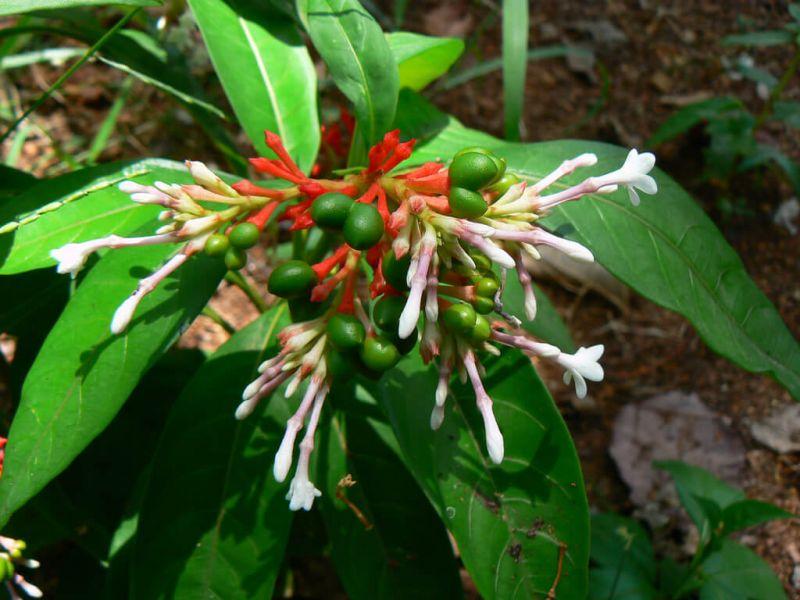 khasiat daun pule pandak