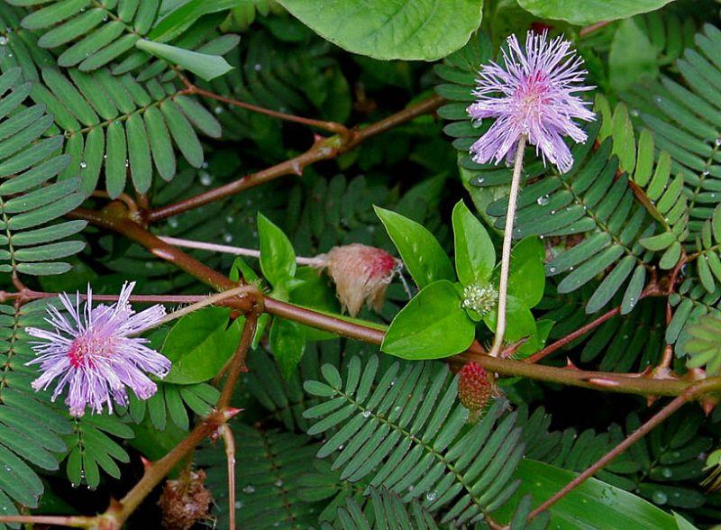 khasiat tanaman putri malu