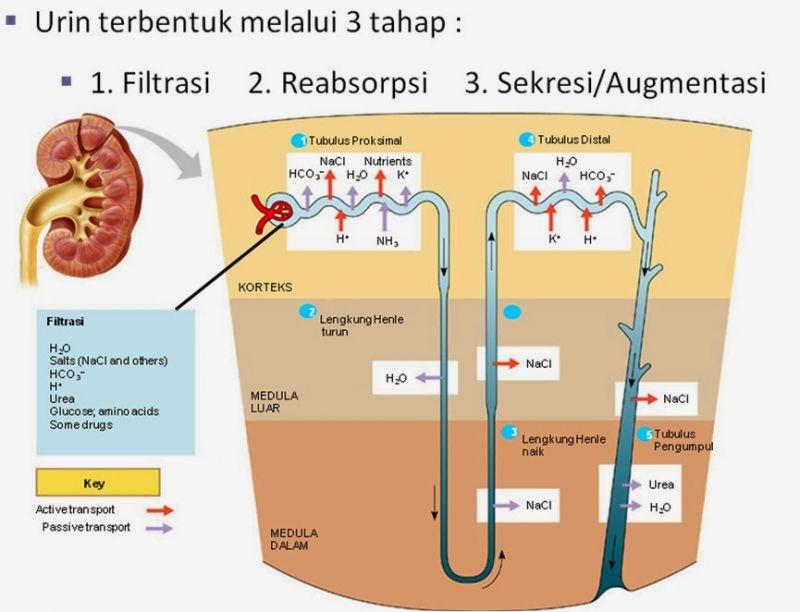 proses pembentukan urine secara singkat