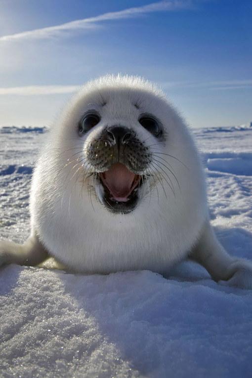 anjing laut imut