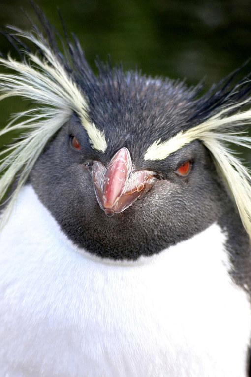 pinguin luuc