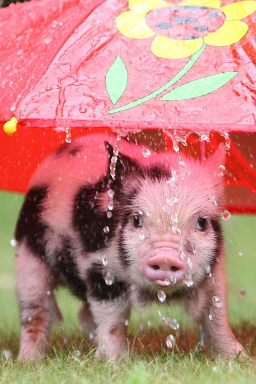 babi imut