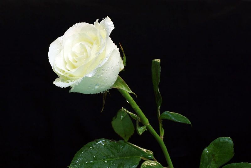 Bunga Mawar Pesona Si Bunga Beda Warna Beda Makna