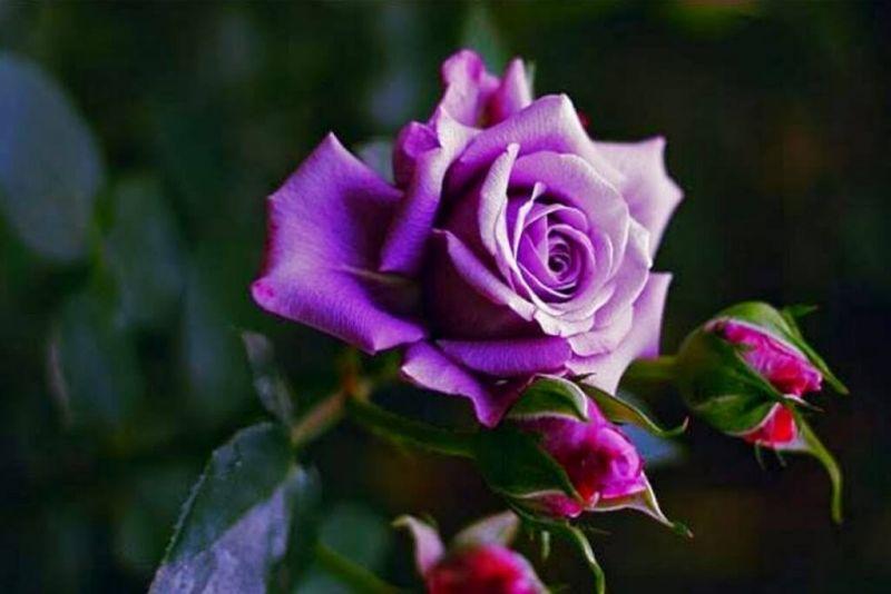 Bunga mawar ungu