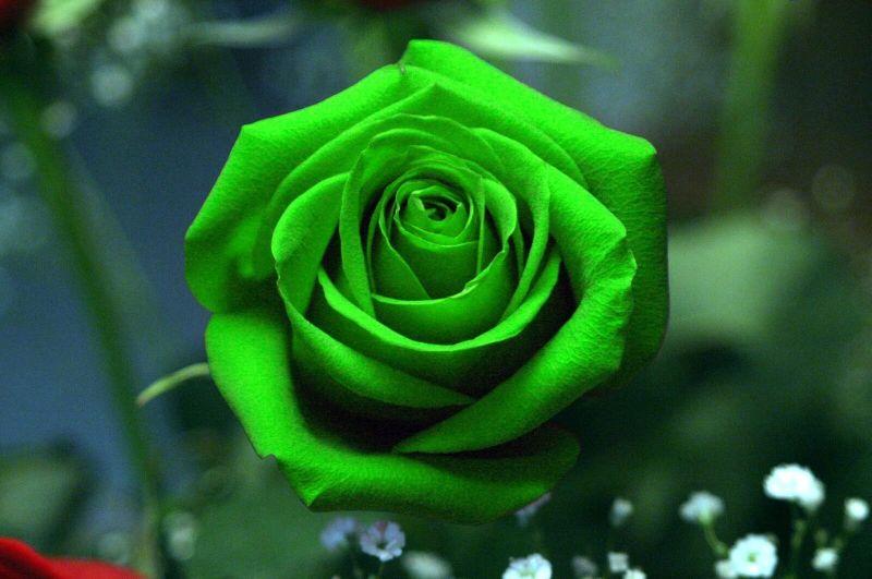 Bunga mawar hijau