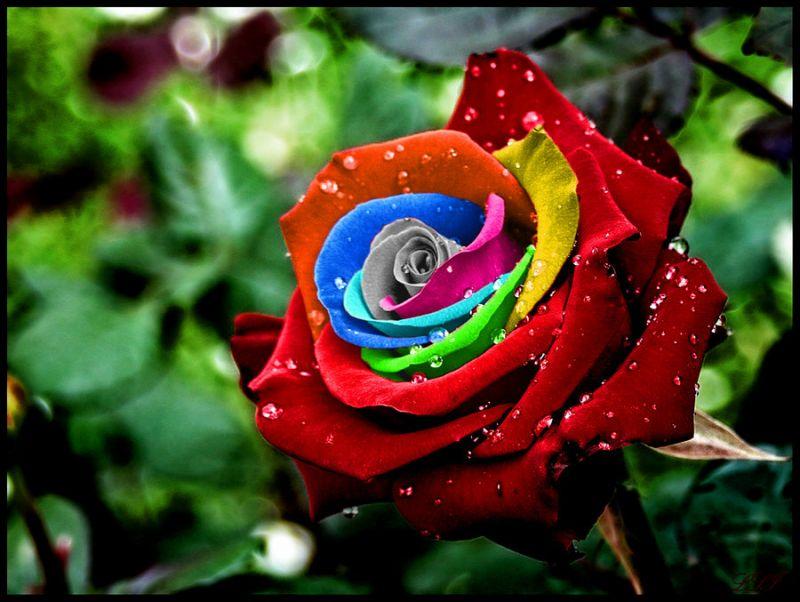 Photo of Bunga Mawar si Bunga Cinta, Beda Warna Beda Makna