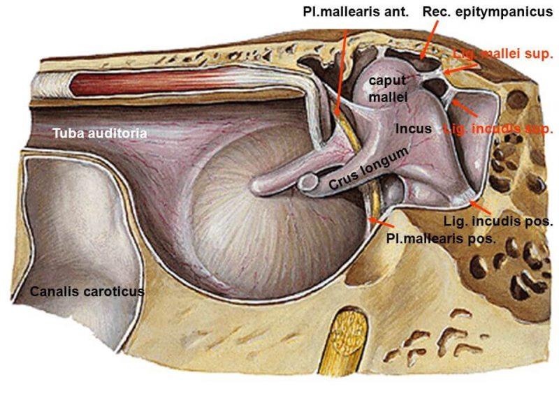 Gambar Struktur Telinga Dalam