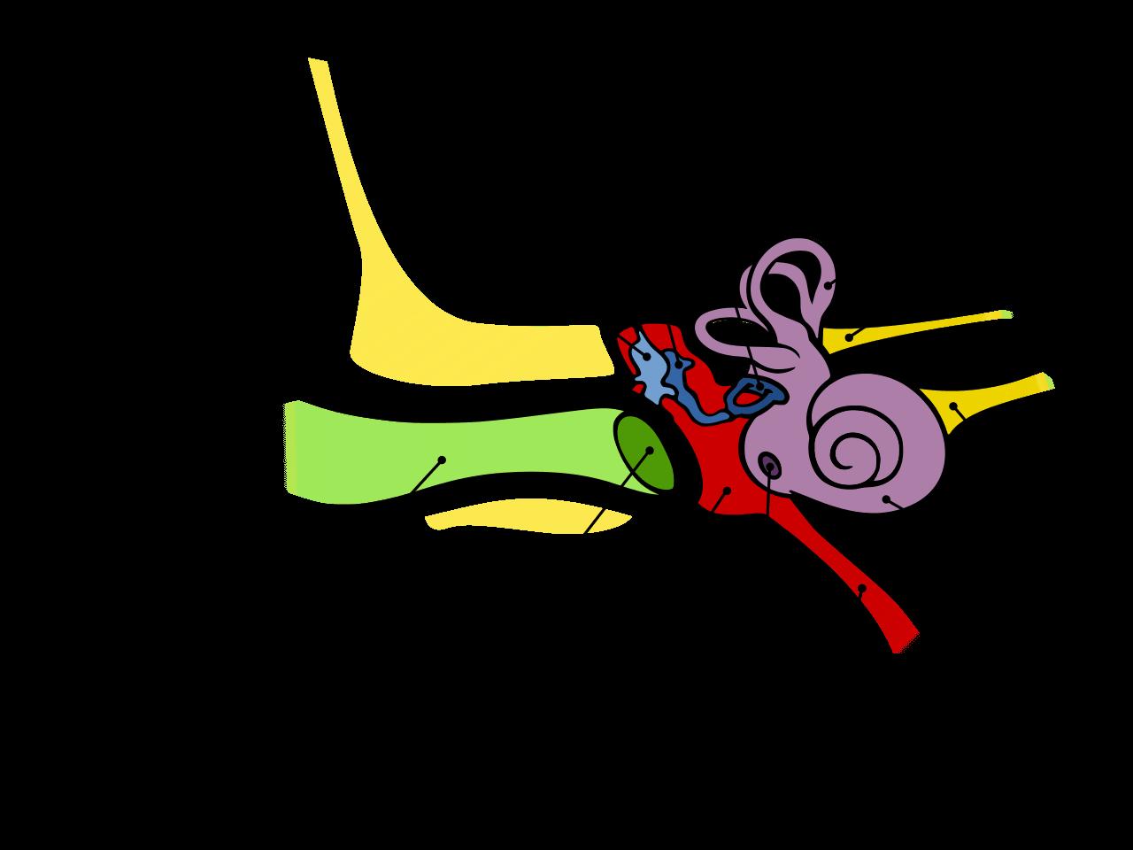 struktur telinga