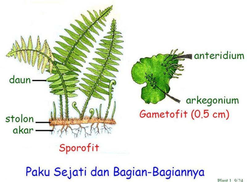 Ciri-ciri Tumbuhan Paku