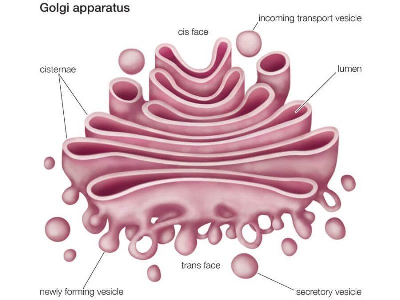 Badan golgi (apparatus golgi)