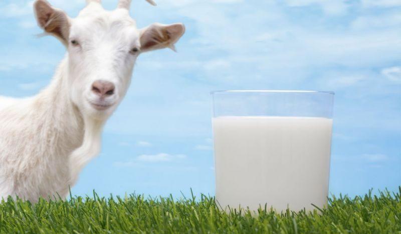 Perbedaan Kandungan Susu Kambing dengan Susu Sapi