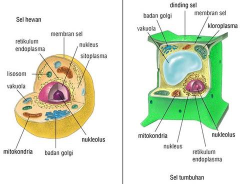 Perbedaan Sel Hewan dan Sel Tumbuhan Berdasarkan Morfologinya