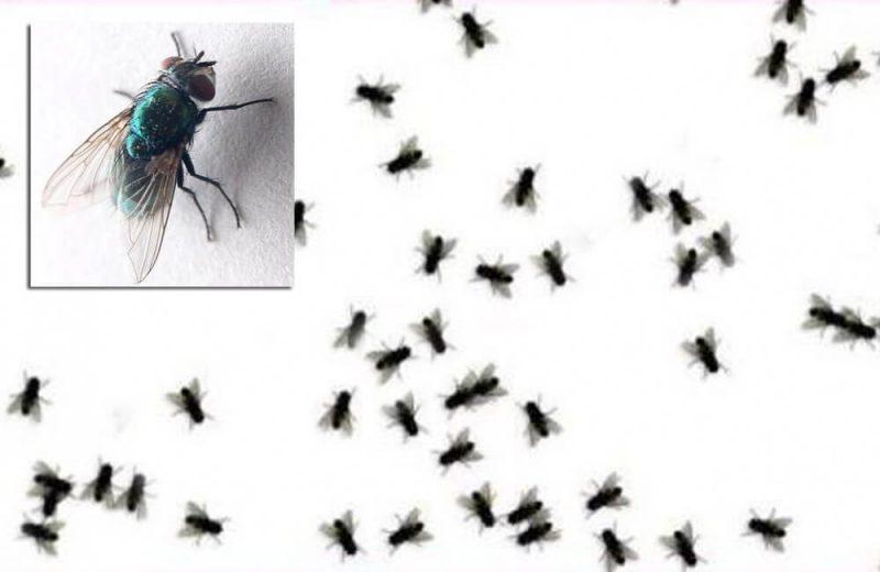 Cara Memberantas Lalat dari Rumah