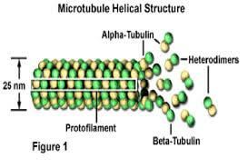 Mikrotubulus